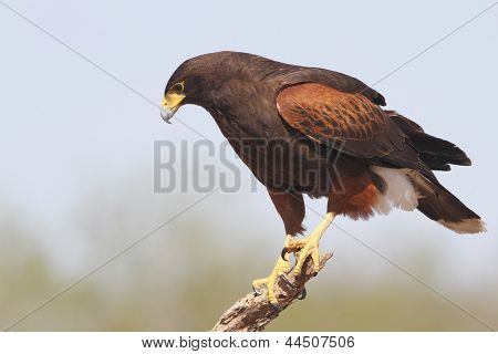 Harris's Hawk (parabuteo Unicinctus) Perched In A Tree - Texas
