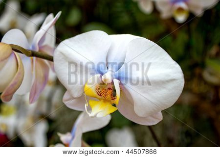 White Orchid In Thailand