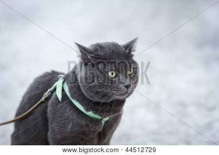 Portrait Of Suprised Russian Blue Cat Outdoor