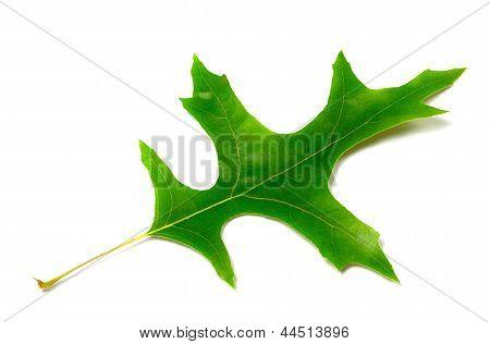 Green Leaf Of Oak (quercus Palustris)