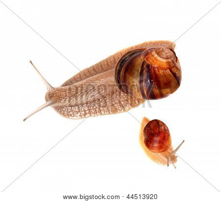 Family Of Snails Isolated On White Background