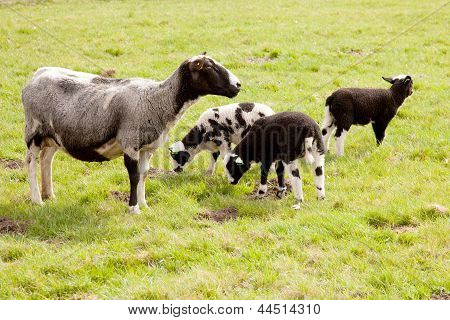 grey sheep with three lambs in meadow