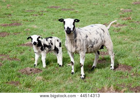 ewe and lamb in meadow