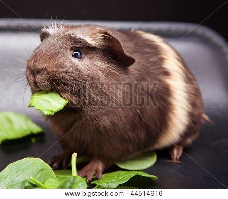 Guinea Pig and Leaf