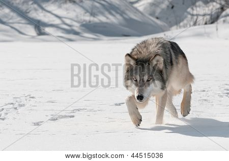 Grey Wolf (Canis lupus) Stalks Forward