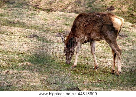 mule deer grazing