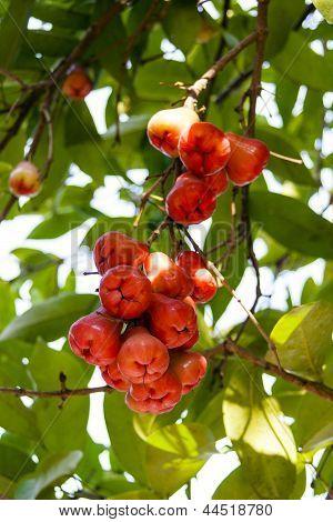 Bunch Of Syzygium Samarangense.