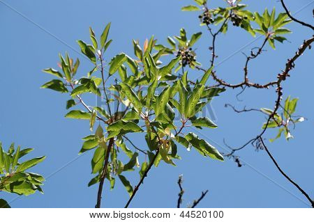 Sunlit leaves and berries of a laurel tree (laurus nobilis) on sky background