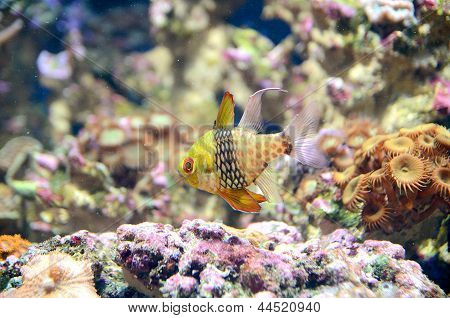 The Pyjama Cardinalfish
