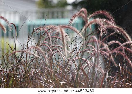 The Pennisetum Grass.