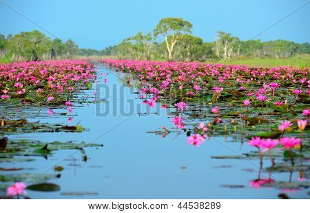 Group Of Beautiful Blossom Lotus