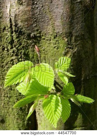 Hornbeam tree sapling