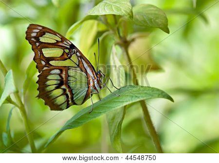 Malachit (Siproeta Stelenes) Schmetterling.