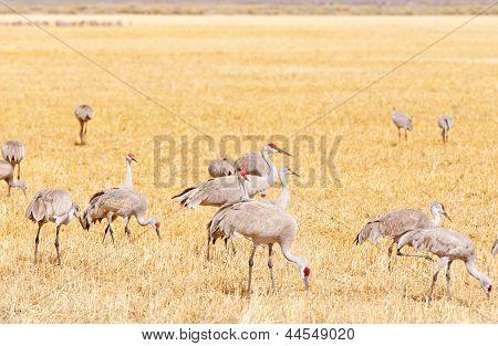 Sandhill Cranes Feeding In A Grassy Field