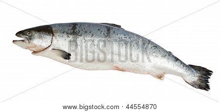 Atlantic Salmon Salmo