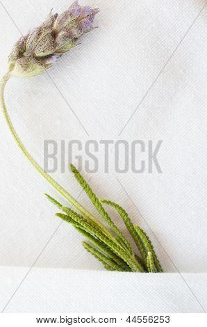 Close Up Of A Sprig Of Lavender (hidcote)..