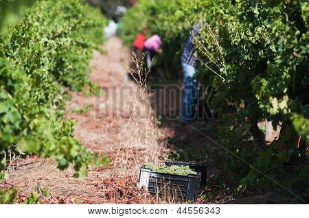 Picking Grapes, Stellenbosch, South Africa