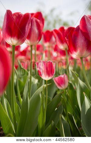 red tulip in sunshine