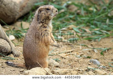 The black-tailed prairie dog