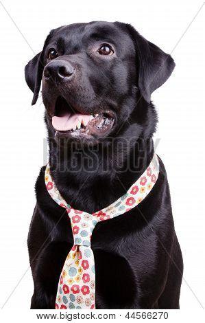 Black Labrador In A Flowered Tie