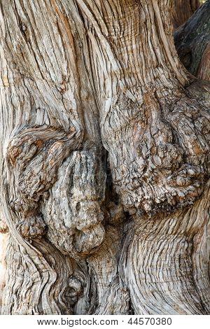 Closeup Of Old Gnarled Oak Tree