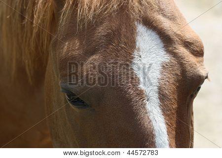A close up of a Quarter horse head.