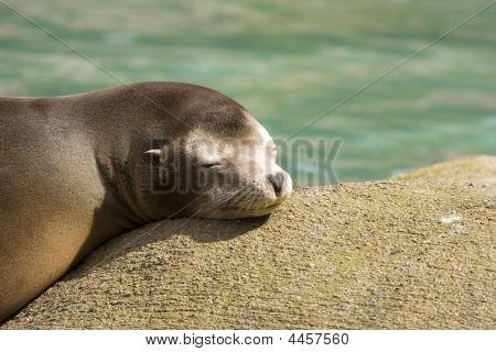 Seal Basking In Sun
