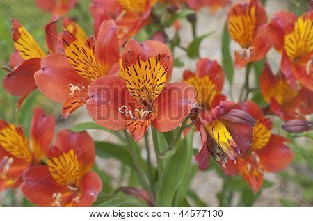 Blooming Flowers Alstroemeria