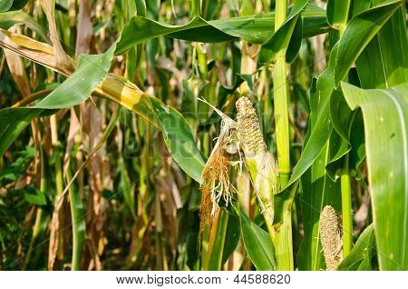 Damage Of Cornfield