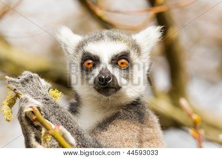 Ring-tailed Lemurs (lemur Catta) Eating