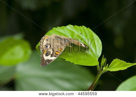 Common Buckeye (junonia Coenia)