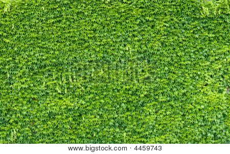 Green Ivy Wall.