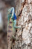 pic of tuatara  - chameleon on a Tree It looks relaxation - JPG