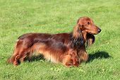picture of long-haired dachshund  - Dachshund Standard Long - JPG