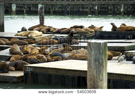 Sea Lions In Harbor