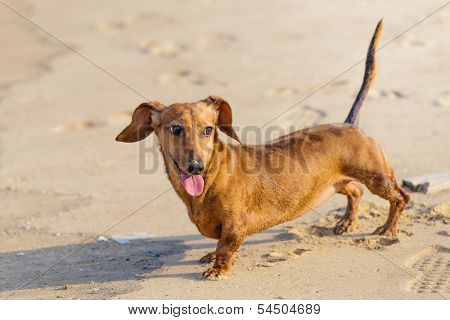 Dachshund Dog in beach