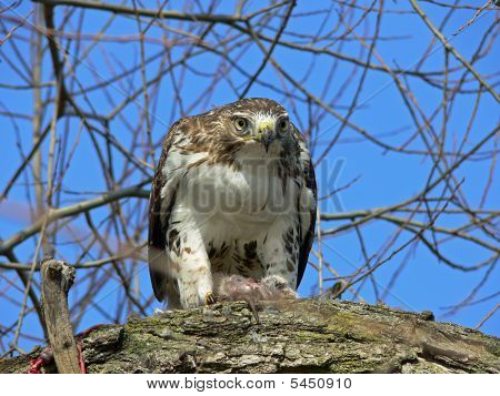 Red-tailed Hawk Feeding On Marsh Rat