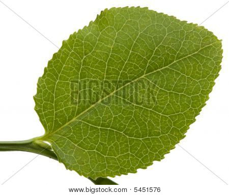 Bilberry Leaf