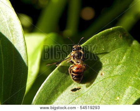 Resting Honeybee