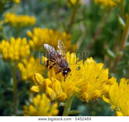 Bee On Yellow Flowers.