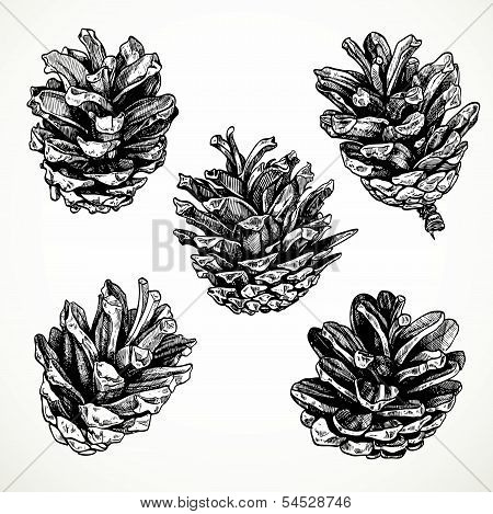 Sketch Drawing Pine Cones On White Background