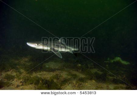 Spiny Dog Fish