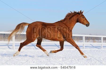 Sorrel horse running on snow manege