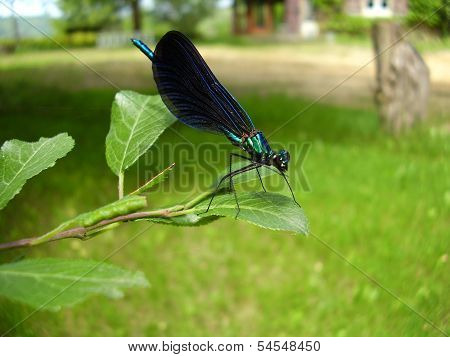 Dragonfly - Beautiful Demoiselle