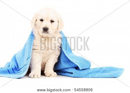 Little labrador retriever dog covered with blue towel isolated on white background