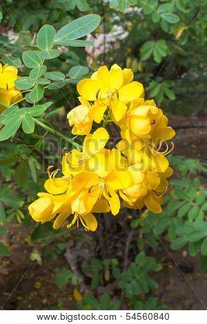 Yellow Cassia Flower