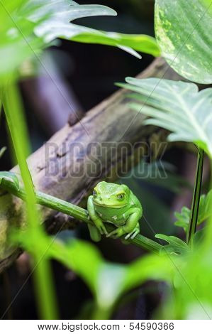 Green Monkey Tree Frog