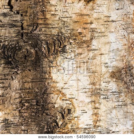 Background Of Birch Bark With A Knot