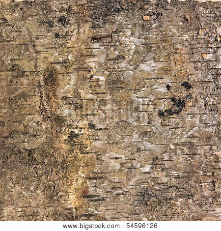 Background Texture Of Birch Bark