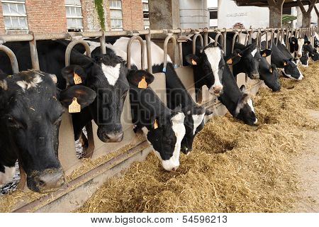 Dairy Cows Eating Hay In A Cowshed